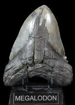 "Buy Massive, 6.41"" Megalodon Tooth - South Carolina - #42232"