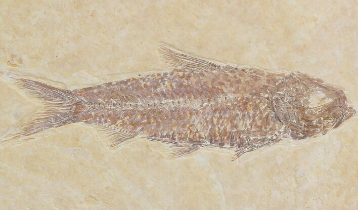 "Detailed 2.3"" Knightia Fossil Fish - Wyoming"