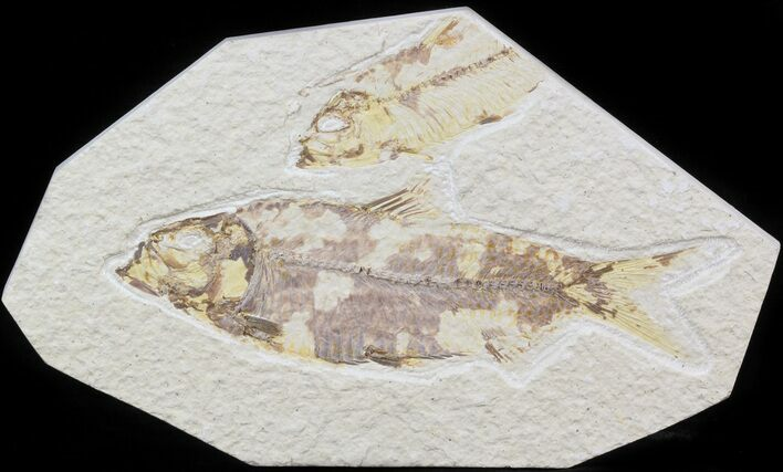 "Bargain 4.3"" Knightia Fossil Fish - Wyoming"