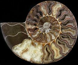 Cleoniceras cleon - Fossils For Sale - #42513