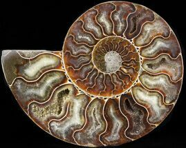 "5.6"" Ammonite Fossil (Half) - 110 Million Years  For Sale, #42518"