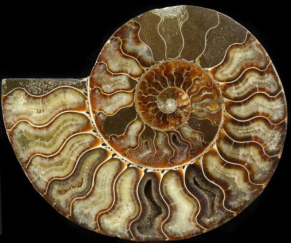 "6.4"" Cut Ammonite Fossil (Half) - Agatized"