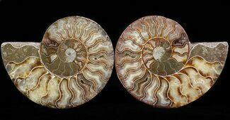 "5.1"" Cut & Polished Ammonite Pair - Crystal Pockets For Sale, #42503"