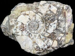 "2.1"" Wide Kosmoceras Ammonite in Matrix- England For Sale, #42662"