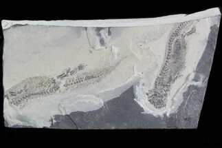 Permian Branchiosaur (Amphibian) Fossil - Very Nice For Sale, #42794