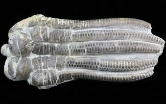 Encrinus liliiformis - Fossils For Sale - #42795
