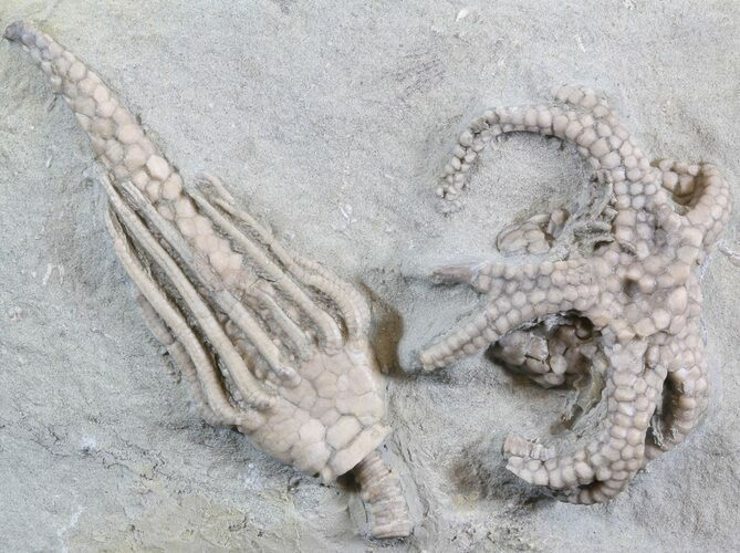 Gilbertsocrinus & Macrocrinus Crinoid Association - Indiana