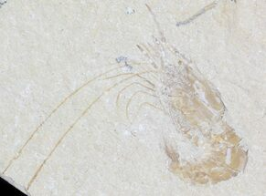 Cretaceous Fossil Shrimp Carpopenaeus - Lebanon For Sale, #42992