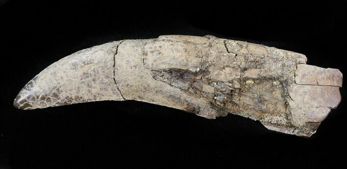 "3.5"" Fully Rooted Tyrannosaur Tooth - Montana"