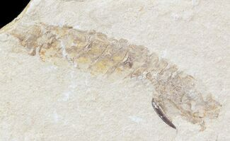 Fossil Mantis Shrimp (Sculda syriaca) - Lebanon For Sale, #43553