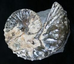 "2"" Discoscaphites Ammonite - South Dakota For Sale, #8963"