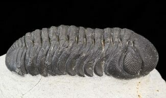 "Buy 2.3"" Austerops Trilobite - Great Eyes - #43519"