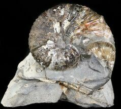 Hoploscaphities nodosus - Fossils For Sale - #44052
