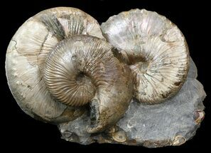 Hoploscaphities nicolletii - Fossils For Sale - #44013