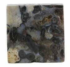 Rhynie Chert - Early Devonian Vascular Plant Fossils For Sale, #44261