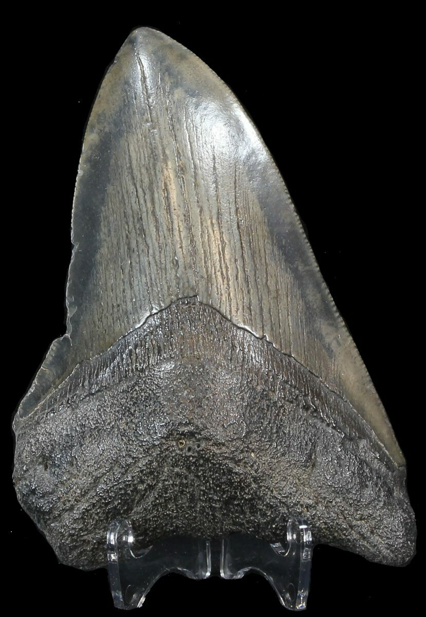 Carbon dating megalodon tooth