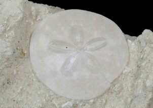 "2.5"" Fossil Sand Dollar (Scutella) - France For Sale, #41366"