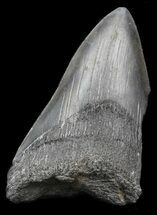 "Partial 4.04"" Megalodon Tooth - Georgia For Sale, #45083"