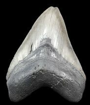 Carcharocles megalodon - Fossils For Sale - #45099