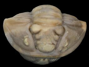 Buy Enrolled Flexicalymene Trilobite - Ohio - #45046