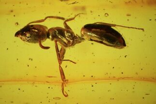 Buy Fossil Ant (Formicidae) & Fly In Baltic Amber - #45157