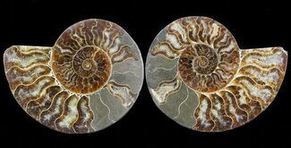 Cleoniceras cleon - Fossils For Sale - #45498