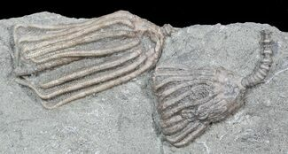 Multiple Dizygocrinus Crinoid Fossil - Warsaw Formation, Illinois For Sale, #45566
