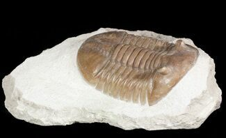 Asaphus lepidurus - Fossils For Sale - #46017