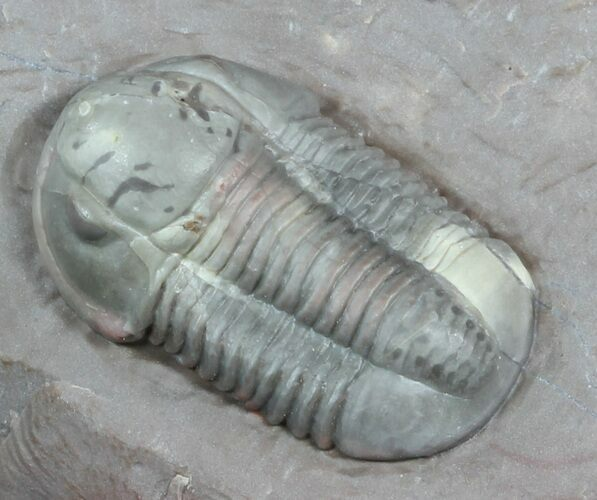 "1.2"" Undescribed Proetid Trilobite From Jorf - Very Inflated"