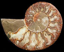 Cleoniceras cleon - Fossils For Sale - #46527