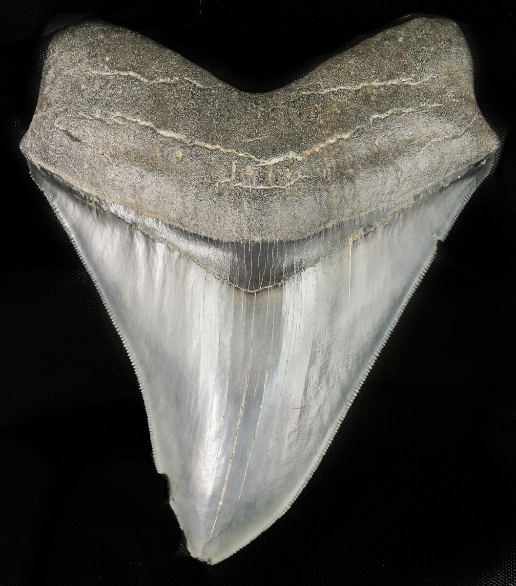 """Sharply Serrated, 4.83"""" Megalodon Tooth"""