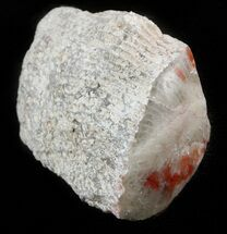 Buy Pennsylvanian Aged Red Agatized Horn Coral - Utah - #46750