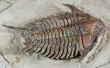 "Exceptionally Prepared Foulonia Trilobite - 2.3"" - #46931-3"