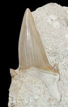 "2.5"" Otodus Shark Tooth Fossil In Rock - Eocene For Sale, #47735"