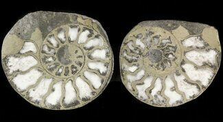 "Buy 1.2"" Pyritized Ammonite Fossil Pair - #48070"