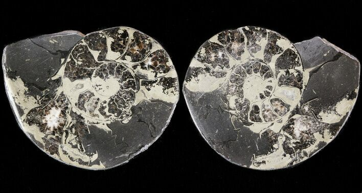 "1.5"" Pyritized Ammonite Fossil Pair"