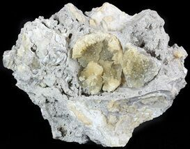 Buy Partial Crystal Filled Fossil Clams in Matrix - Rucks Pit, FL - #48319