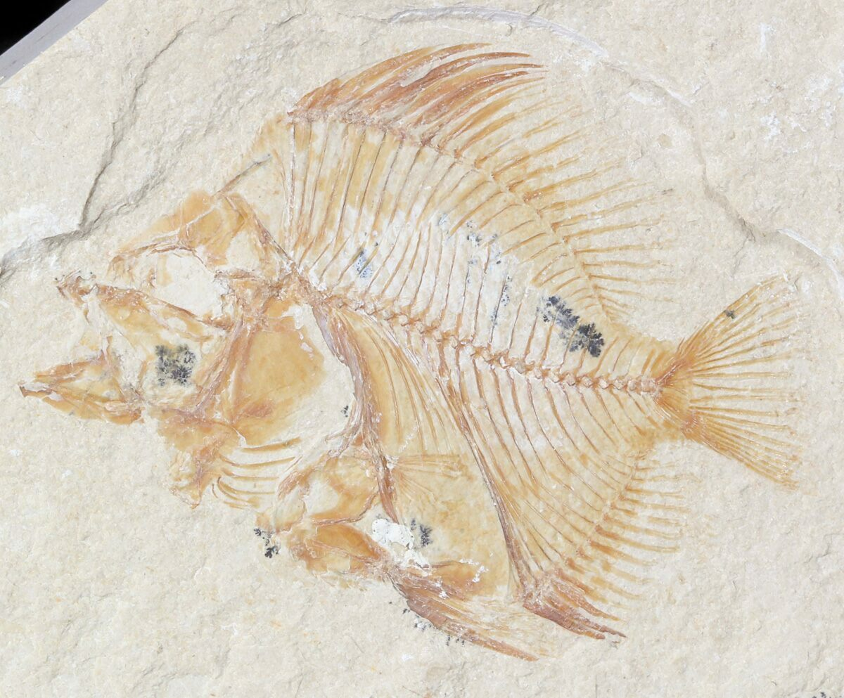 1 8 cretaceous fossil fish pycnosteroides lebanon for for Fish fossils for sale