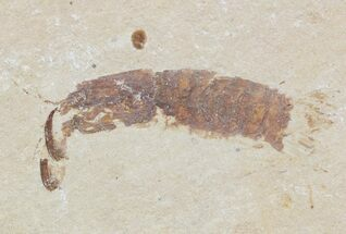 "Buy 1.4"" Fossil Mantis Shrimp (Sculda syriaca) - Lebanon - #48535"