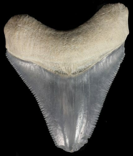 "1.93"" Serrated Megalodon Tooth - Bone Valley, Florida"