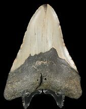 Carcharocles megalodon - Fossils For Sale - #48900