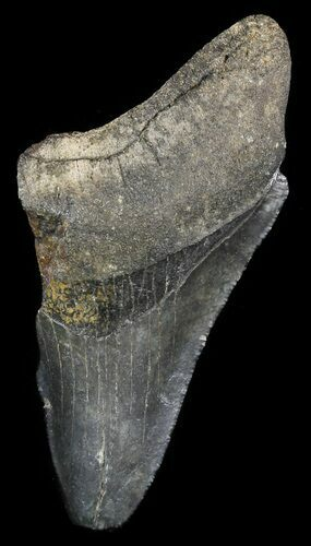 "Partial, Serrated 3.05"" Megalodon Tooth - Georgia"