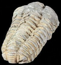 "Buy 2.8"" Calymene Trilobite From Morocco - Large Size - #49639"