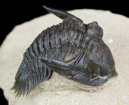 "Cute, 1.3"" Metacanthina (Asteropyge) Trilobite - Lghaft For Sale, #49814"