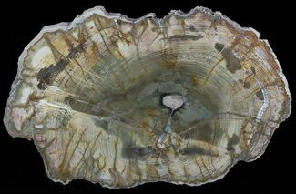 "Buy 11"" Colorful Petrified Wood Slab - Madagascar - #49933"
