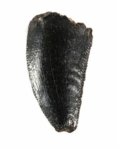 Bargain Raptor Tooth From Morocco - .51""