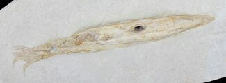 "8.7"" Fossil Squid (Plesiotheuthis) With Tentacles - Solnhofen For Sale, #50879"