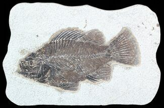 "5.3"" Cockerellites (Priscacara) Fossil Fish - Hanger Installed For Sale, #51059"