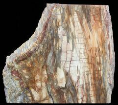 "Buy 12.7"" Colorful Petrified Wood Slab - Madagascar - #51271"