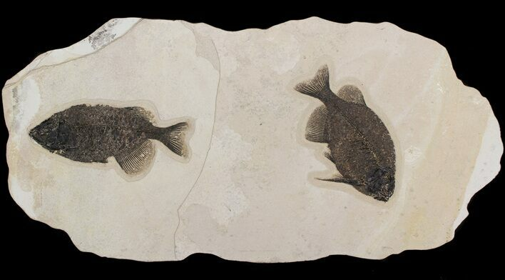 Pair Of Large, Naturally Associated Phareodus - Wall Mount